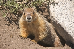 Yellow-bellied marmot in Tuolumne Meadows, Yosemite